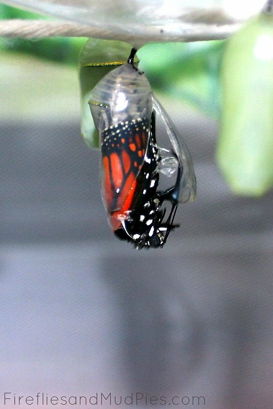 monarch-coming-out-of-chrysallis