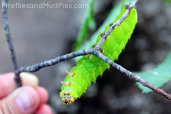 polyphemus-moth-caterpillar