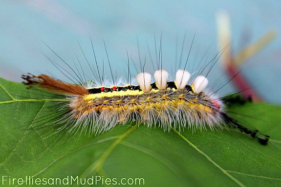 white-tussock-moth-caterpillar
