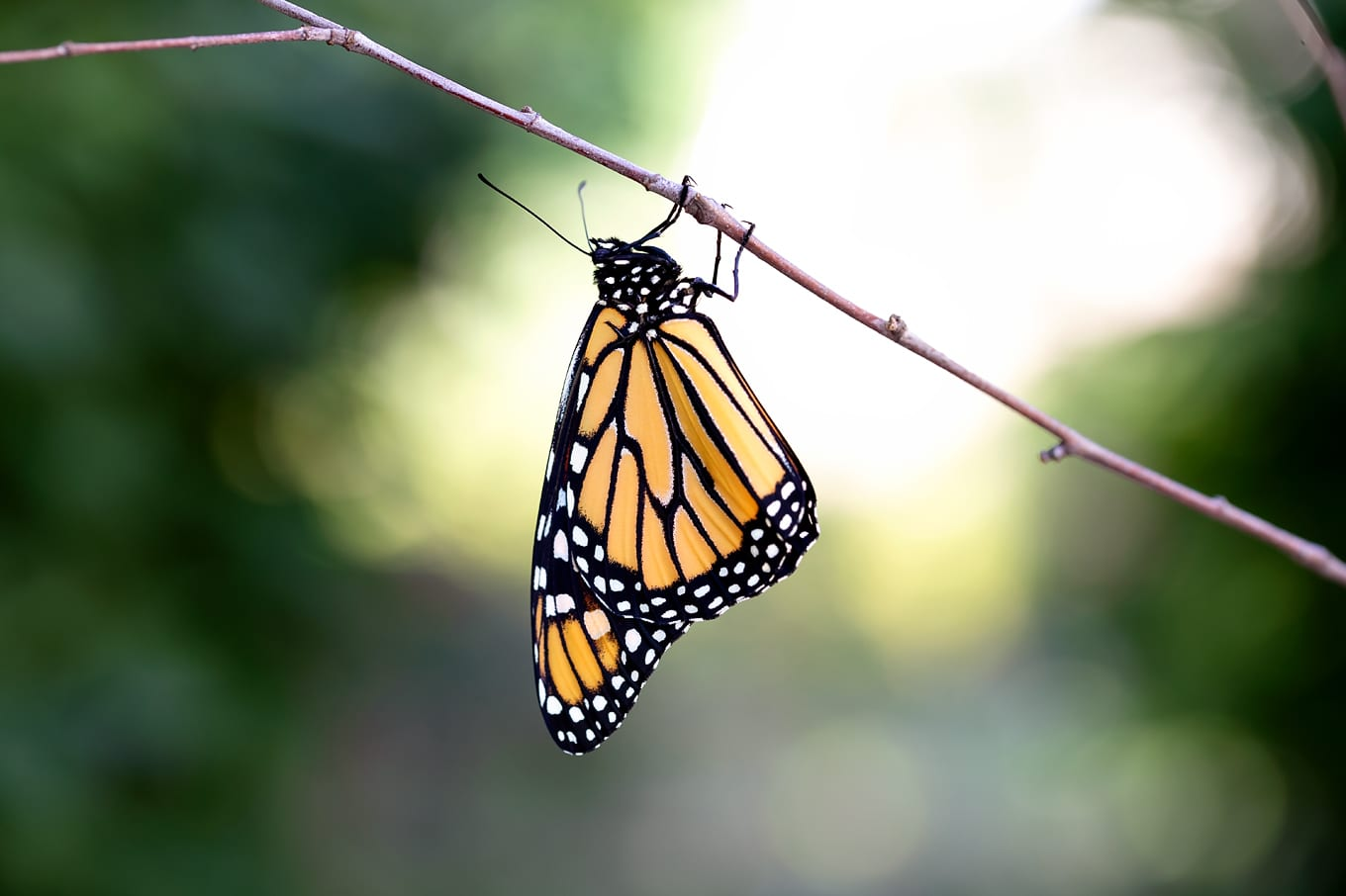 Adult Monarch Butterfly