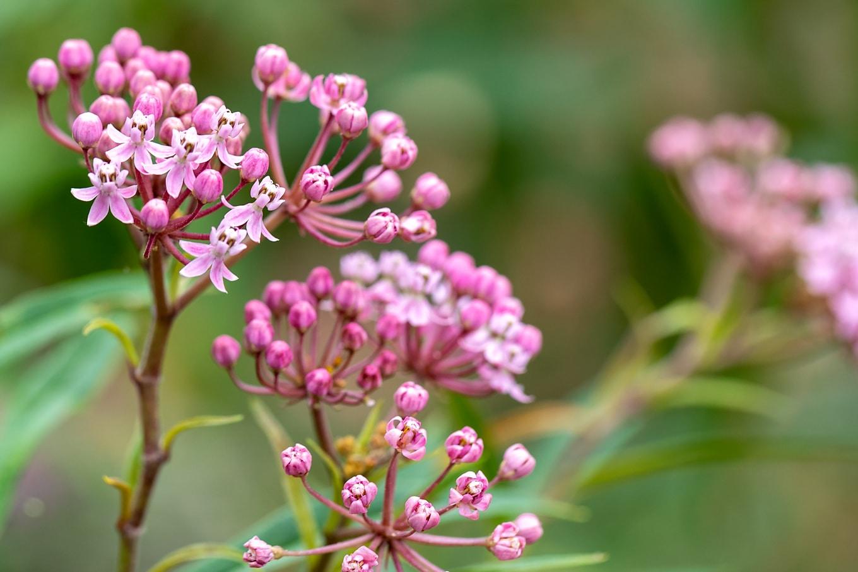 Pink Swamp Milkweed