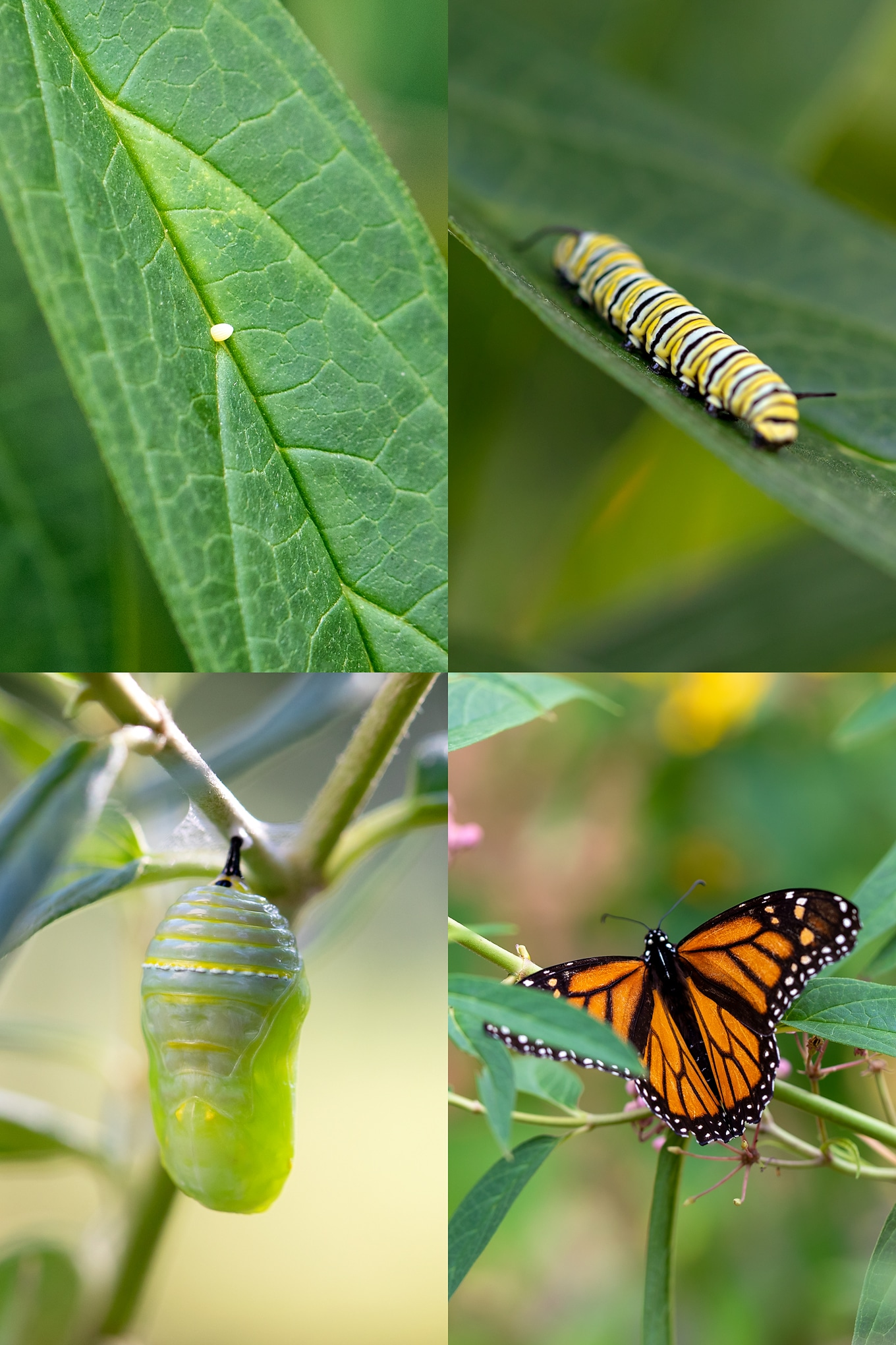 Monarch butterfly life cycle facts, photographs, video, and activities for kids. Tips for raising monarch butterflies with kids! #monarchbutterflylifecyclee #monarchbutterfly #raisingmonarchbutterflies #monarchlifecycle via @firefliesandmudpies