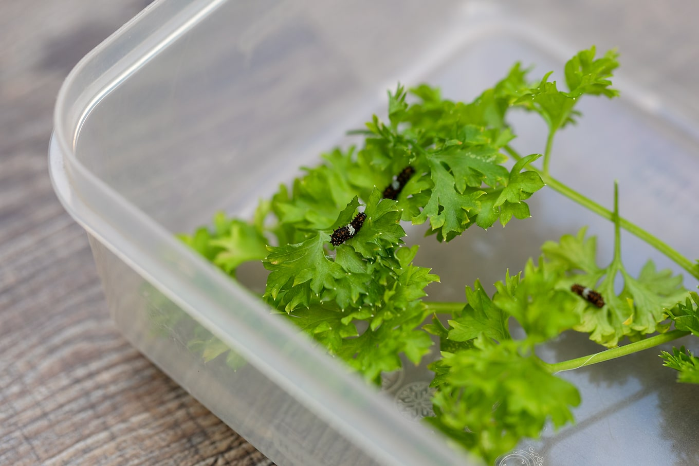 Newborn Black Swallowtail Caterpillars on Parsley