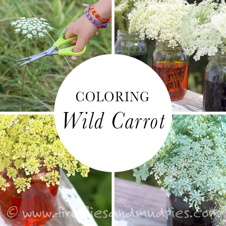 Coloring Wild Carrot | Fireflies and Mud Pies