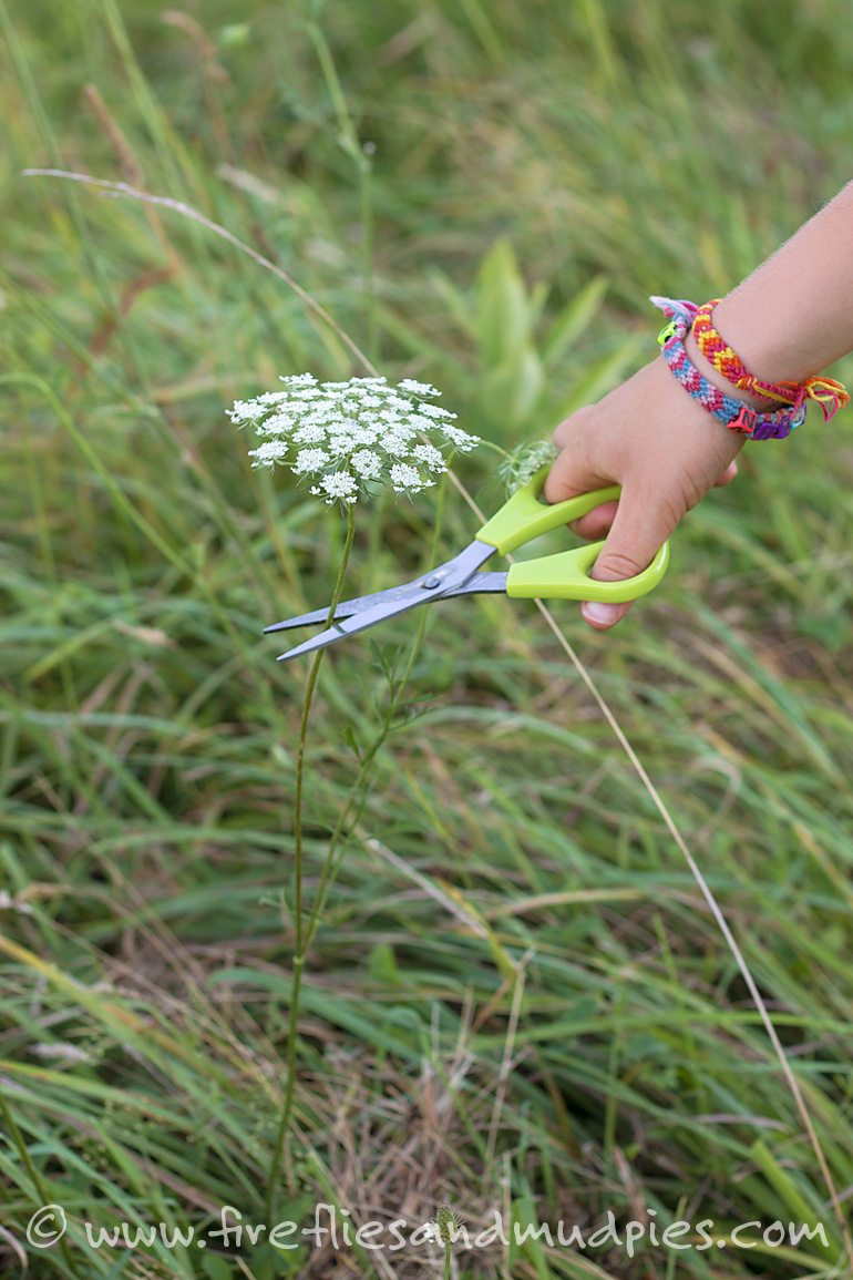 Cutting Queen Anne's Lace (Wild Carrot) to take home to dye. | Fireflies and Mud Pies