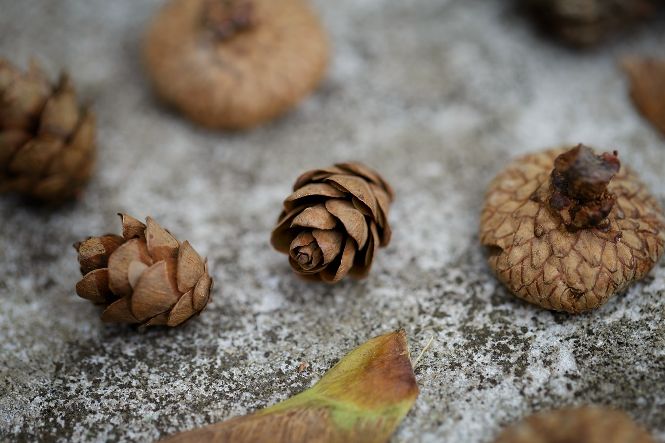 Pine Cones and Acorn Caps for Nature Crafting
