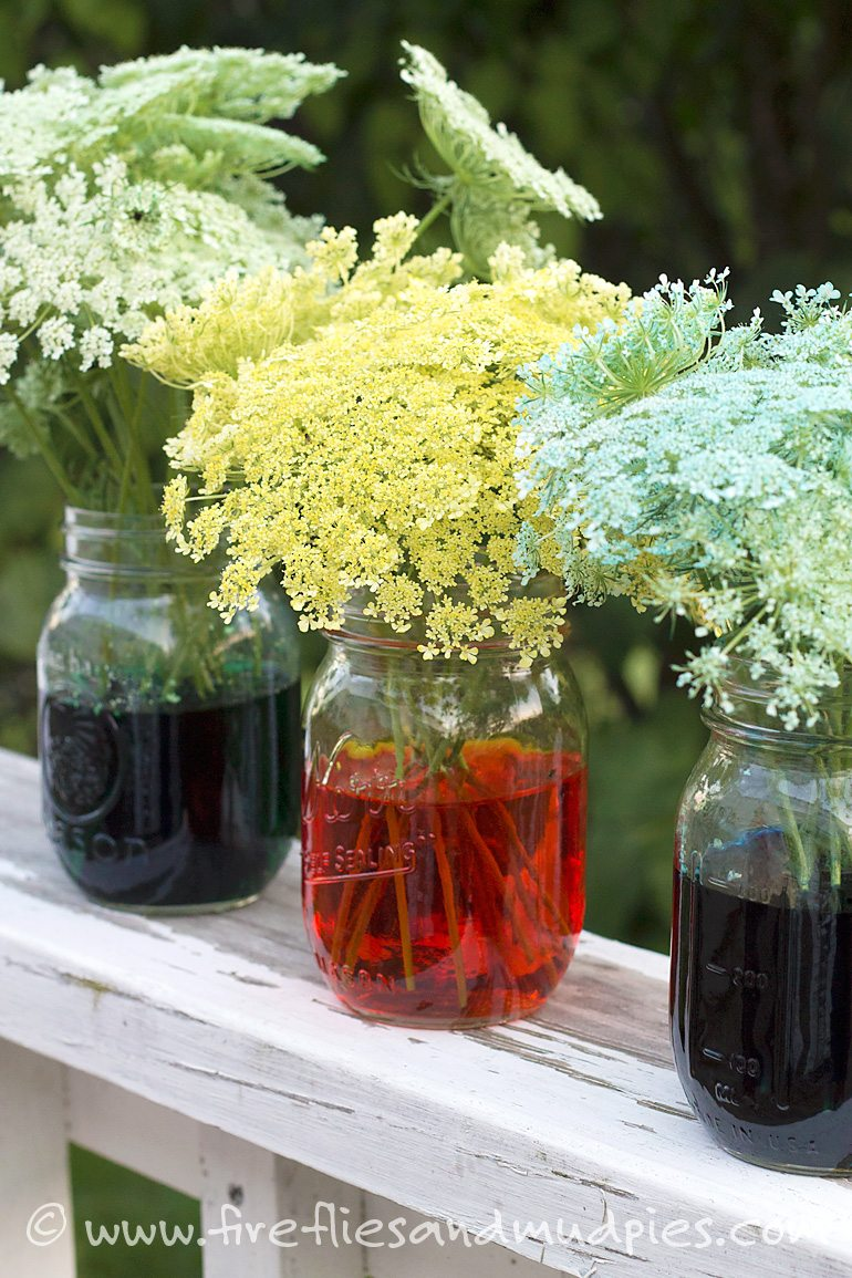 Kids will be amazed when they can change the color of Queen Anne's Lace! | Fireflies and Mud Pies