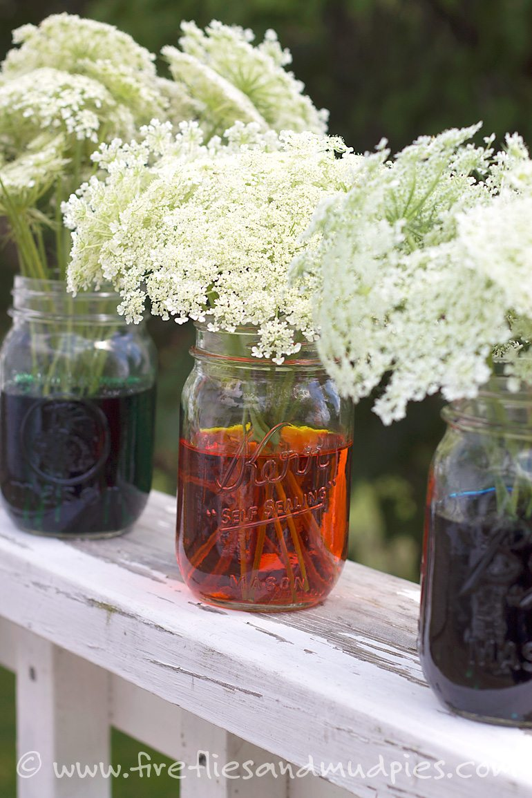 Freshly cut Queen Anne's Lace in Jars. Watch them change color! Fun science for kids! | Fireflies and Mud Pies