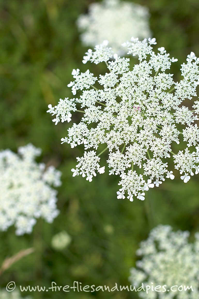 """Queen Anne's Lace is also known as """"Wild Carrot."""" Kids will have fun changing the color of this plant by placing it in a jar of colored water. 